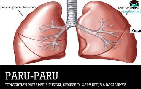 pengertian-paru-paru
